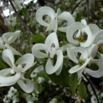 Striking Plants: Magic Dogwood