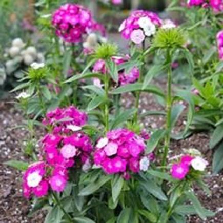 annual flowers (vs perennial)