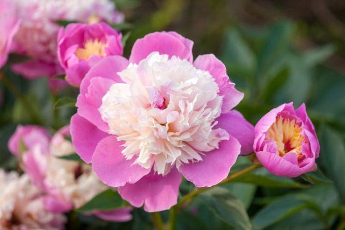 Gardenia, peony, flowers