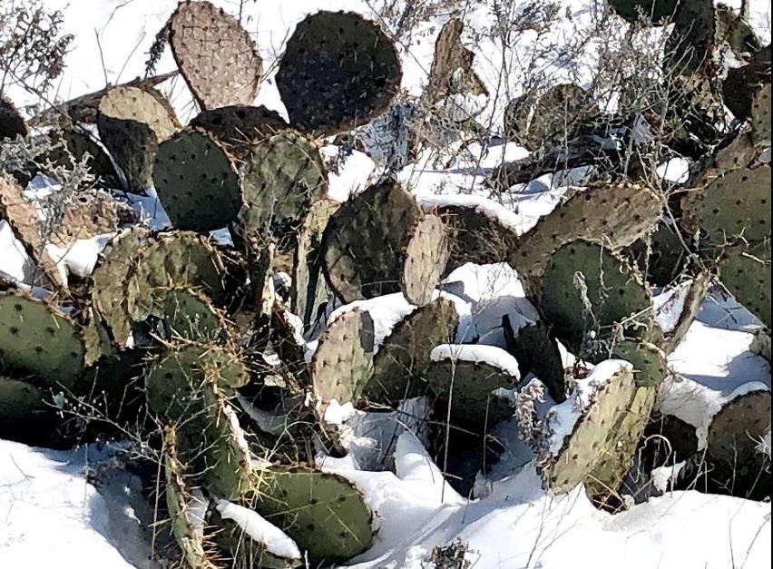 Prickly Pear Cactus enduring snow and sub-zero temperatures.